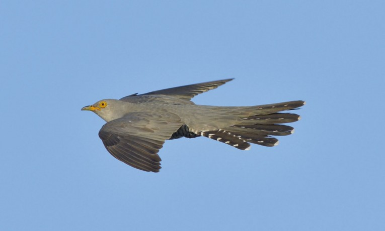 Crane Spotter – May 2020 – The Cuckoo's comings and goings