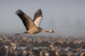 Crane Spotter – June 2017 – Cranleigh or Heronleigh?
