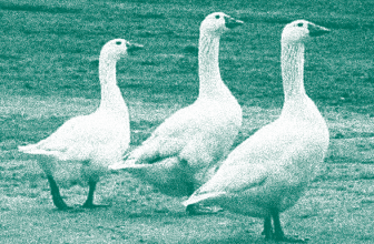A Poultry Tale