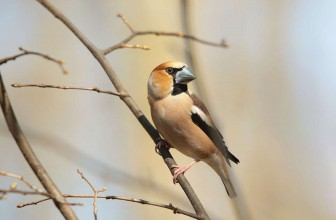 Crane Spotter – January 2018 – Hawfinch hordes hit the hills!