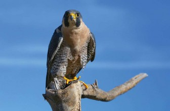 Crane Spotter – June 2018 – The Peregrine Miracle