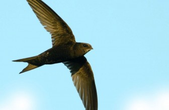 Crane Spotter – May 2016 – Swifts Will Be With Us Any Day!